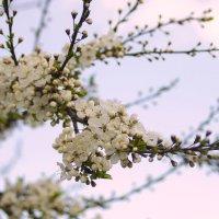 цветущая ветвь :: оксана
