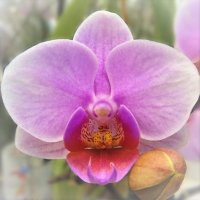 Внутри орхидеи сидит человечек :) :: Ирина Via