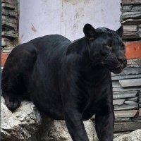 Черный ягуар (пантера) :: Владимир Габов