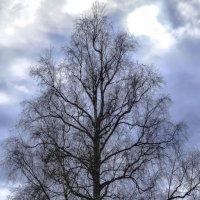 скелет дерева за несколько дней до появления листьев :: Георгий