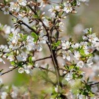 Войлочная вишня весной :: Александр Синдерёв