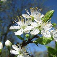 Чернослив цветёт :: sm-lydmila