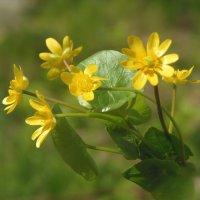 Лютики- цветочки... :: Наталья Ильина