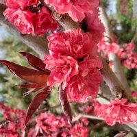 Весеннее цветение :: Александр