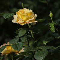 Время цветения роз :: Светлана