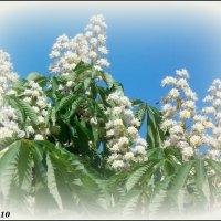 Снова цветут каштаны! :: Нина Бутко