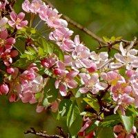 Весны цветение. :: ТаБу