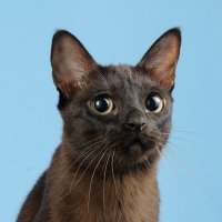 Кошка породы тонкинез :: Ольга Кириллова