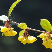 Барбарис цветет :: Swetlana V