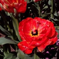 Минифестиваль тюльпанов :: Вероника