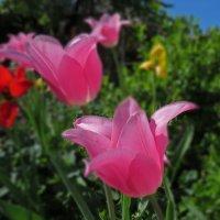 Розовые тюльпаны :: SaGa