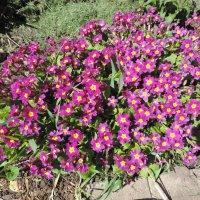 Примула Юлии (Primula juliae) :: alexeevairina .