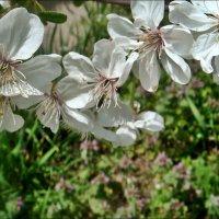 Как белоснежные бабочки :: Нина Корешкова