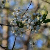 Любимый месяц - месяц май в цветении вишни белоснежной... :: Ольга Русанова (olg-rusanowa2010)
