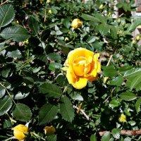 Желтая роза Фото №1 :: Владимир Бровко