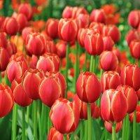 Время тюльпанов :: Natali Positive