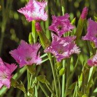 Садовые гвоздики :: barsuk lesnoi