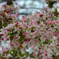 яблони в цвету :: Валентина Коряченцева