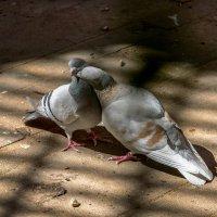 Любовь и голуби :: Валерий Пегушев