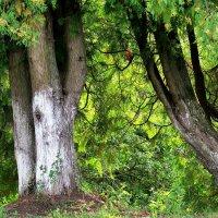 Дерева вы мои дерева. :: Ирина Беркут