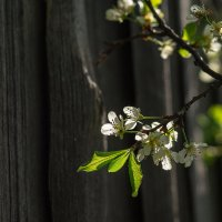 Слива цветёт :: Вера Сафонова
