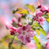 Цветение яблони :: Julia Volkova