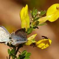 голубянки на желтом :: Александр Прокудин