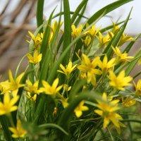 Весенние первоцветы :: Алена Усова