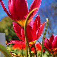 Тюльпаны :: Liudmila LLF