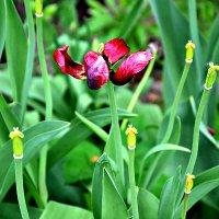 И тюльпаны тоже лысеют... :: Михаил Столяров