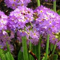 Цветы Весны :: Сергей Карачин