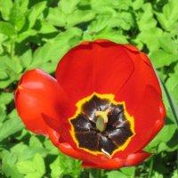 Крымский тюльпан :: Дмитрий Никитин