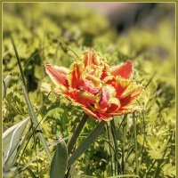Мои первоцветы :: Наталья Ильина