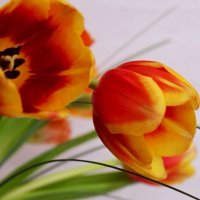 тюльпаны :: Горкун Ольга Николаевна