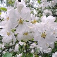 Яблоня в каплях дождя... :: Лия ☼