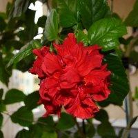 Китайская роза :: Геннадий