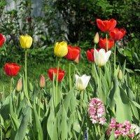 И опять тюльпаны... :: Валюша Черкасова