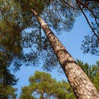 Ввысь к кронам деревьев :: Станислав Соколов