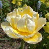 Махровый тюльпан :: Татьяна Георгиевна