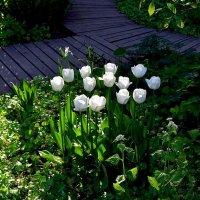 Белые тюльпаны :: dindin