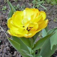 Тюльпан. :: венера чуйкова