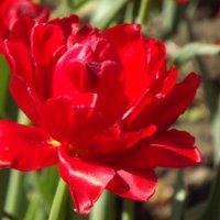 Расцвел тюльпанчик красный-лепесток атласный! :: нина