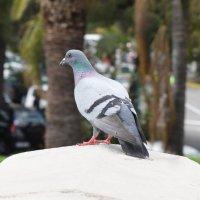 Pigeon :: Sacha Bouron