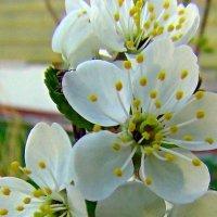 Вишня цветет :: Люба (Or.Lyuba) Орлова