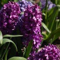 весенние цветы- геоцинт :: Валентина Папилова