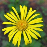 Весна на даче.Солнечный цветок... :: Aлександр **
