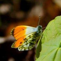 про бабочек 3 (зорянка) :: Александр Прокудин