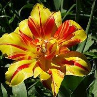 Цветок тюльпана :: Маргарита Батырева