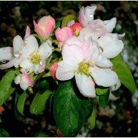 Цветет яблоня :: Сергей