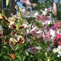 Лилии цветут :: minchanka